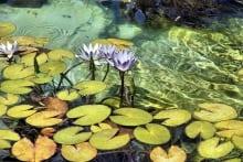 Carl-Shubs----Water-Lilies