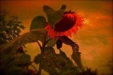Wendy Little - Sunflower Red