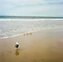 Hannah_Kozak_La-Jolla-Seagull-Sandpipers-Sept-5-2016