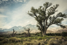 Denise-Taylor-Sierra-Tree-Bishop-California