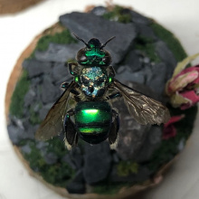 Orchid-Bee-Flying-web